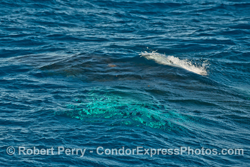 Another unique wave pattern caused by a moving, submerged humpback whale