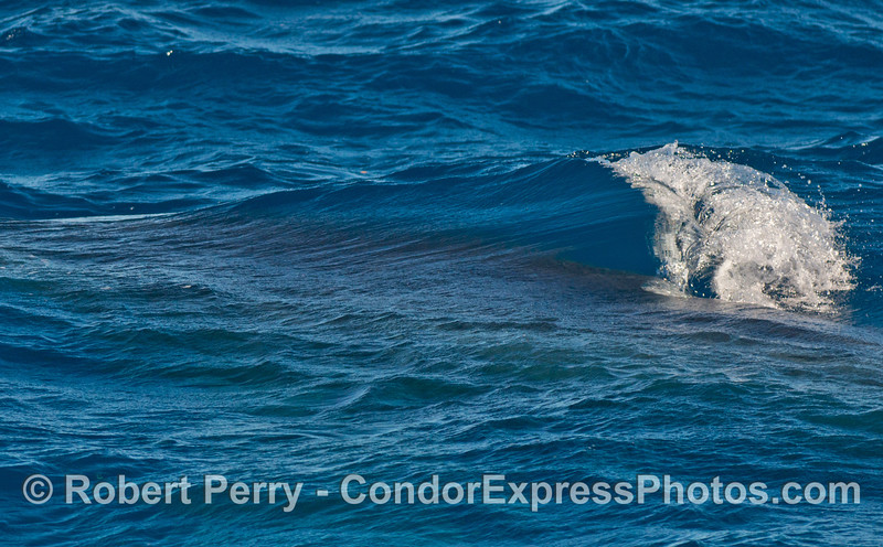 Interesting wave caused by the forward motion of a humpback whale's dorsal fin just below the surface