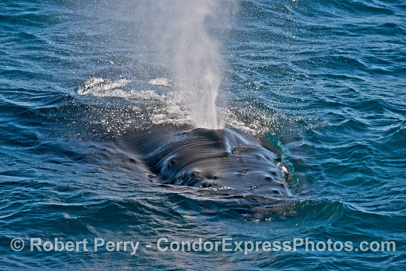 Image 3 of 5 in a row:  A humpback whale heads for the camera - the knobby rostrum, spashguard and spout are seen