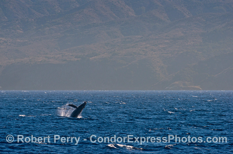 Humpback breaching near Santa Cruz Island