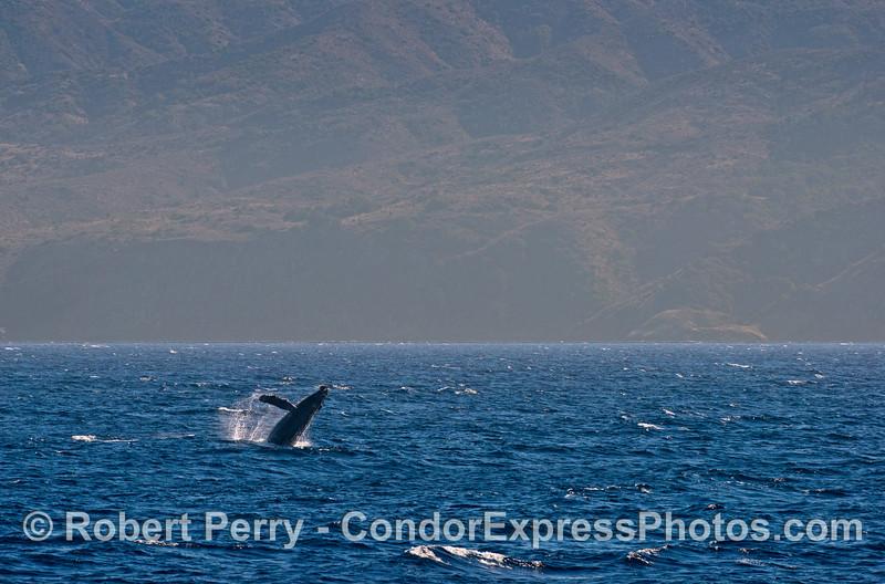 Humpback breaching near Santa Cruz Island