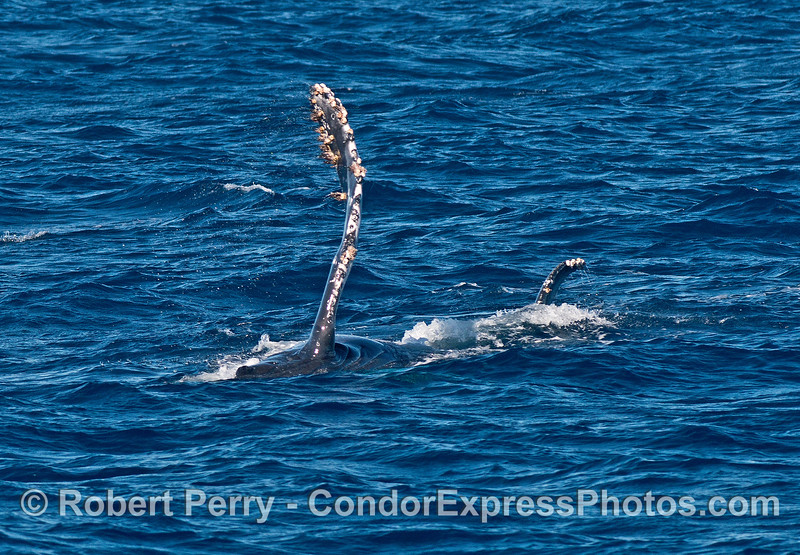 Another sideways humpback with fins in the air