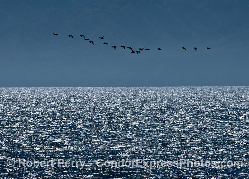 A flock of high flying surf scoters near Santa Cruz Island