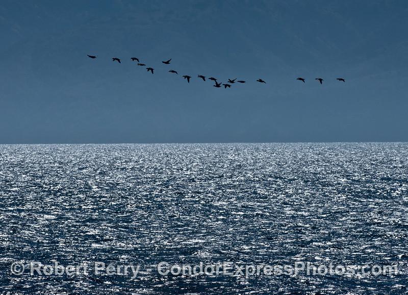A flock of high flying surf scoters near Santa Cruz Island