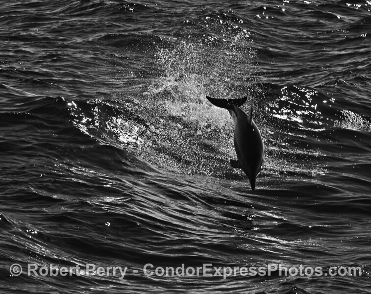 Black and white - leaping long beaked common dolphin