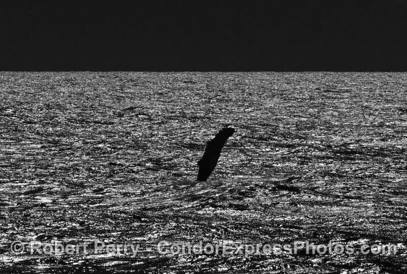 Black and white:   the long pectoral fin of a humpback on a sparkling sea