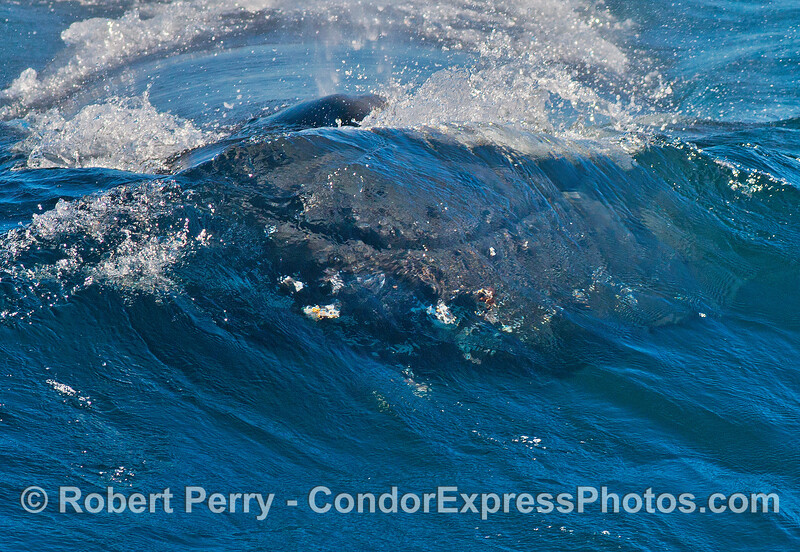 Image 2 of 5 in a row:  the face of a humpack is seen through the back of a clear blue wave as the beast heads for the camera