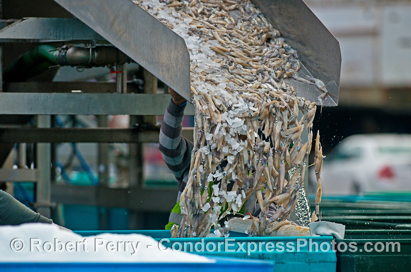Doryteuthis opalescens Loligo 2014 11-12 Ventura Hbr-201