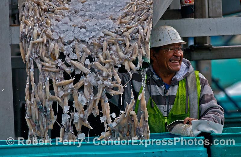 Doryteuthis opalescens Loligo 2014 11-12 Ventura Hbr-108