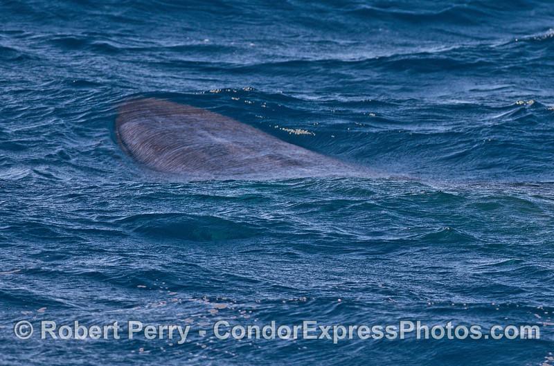 Fin whale underwater