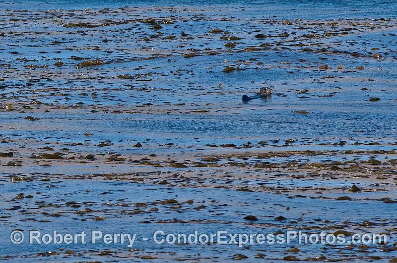 Image 1 of 2:  Sea otter in the kelp bed - Gull Island.