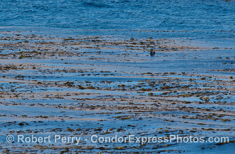 Image 2 of 2:  Sea otter in the kelp bed - Gull Island.
