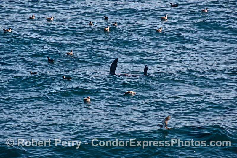 A sea lion resting with its fins out of the water - black vented shearwaters all around