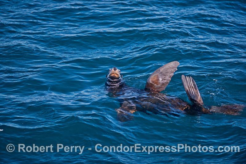 A male sea lion keeps an eye on the camera