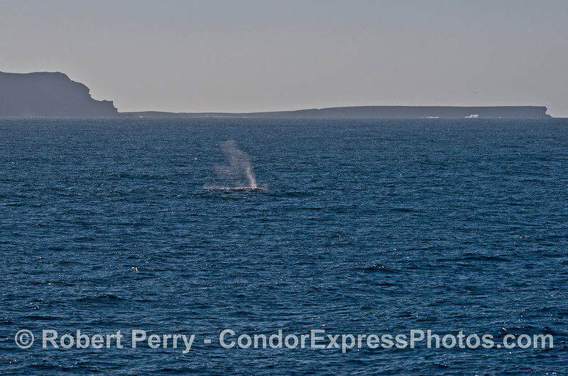 Humpback whale spout with Fraser Point, Santa Cruz Island in back