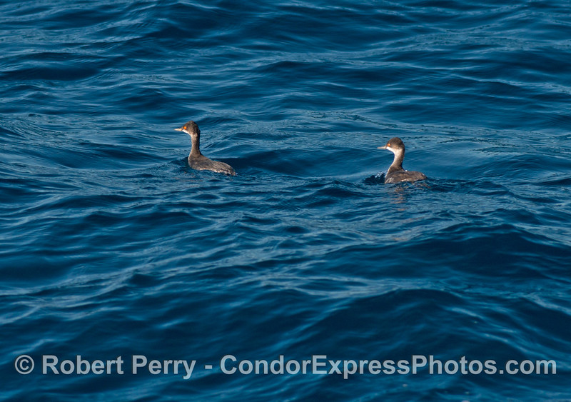 A pair of eared grebes on the open ocean
