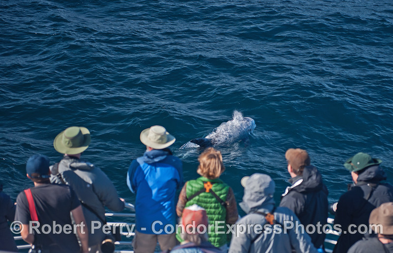 A Risso's dolphin rides the bow !