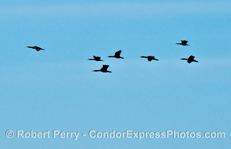 A flock of Brandt's  cormorants in flight.