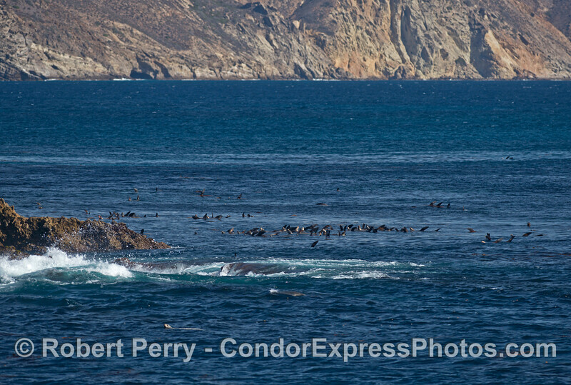 Sea lions in the water - Gull Island