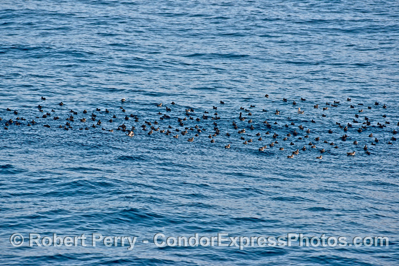 A small flock of black vented shearwaters on the water