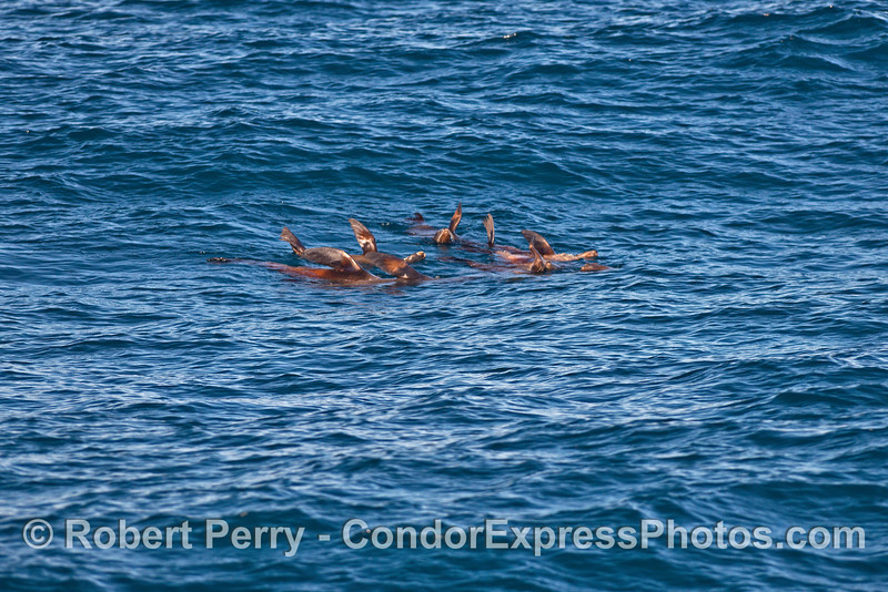 A small raft of sea lions