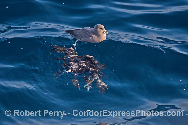 A northern fulmar was seen feeding on the remains of a bird (Western Grebe ?)