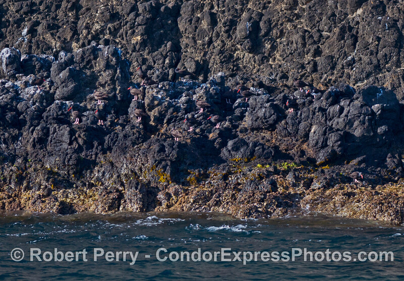 Count the oystercatchers camouflaged on the black volcanic rocks at Anacapa