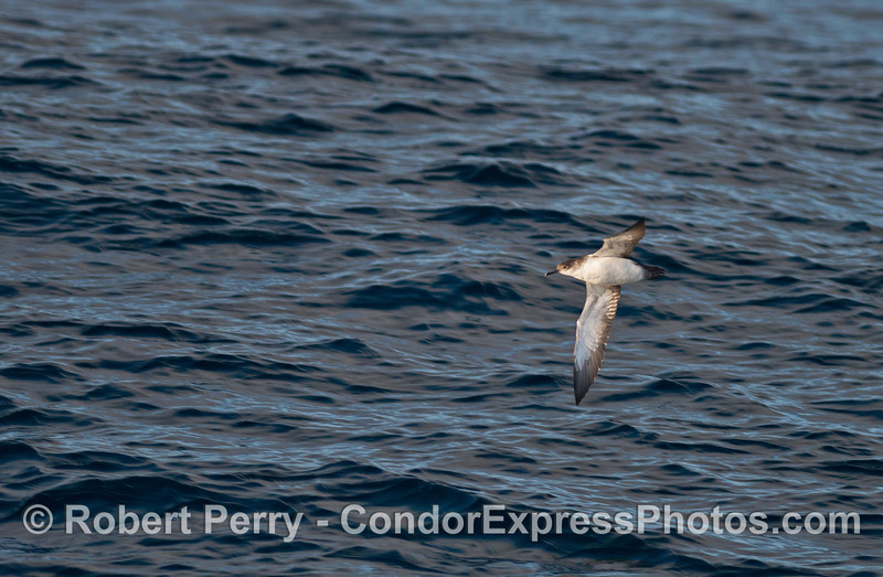 Black-vented shearwater in flight