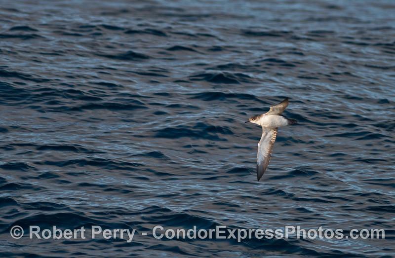 Black-vented shearwater in flight
