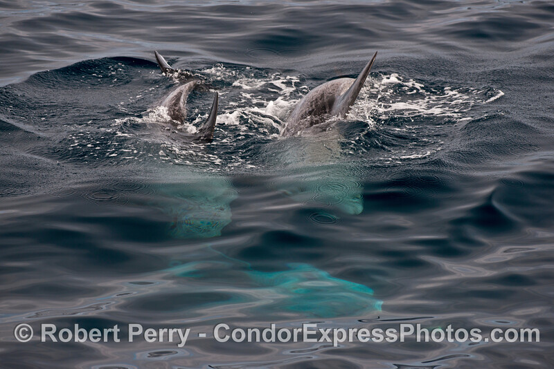 Risso's dolphins diving - white bodies glow beneath the surface.