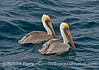 A pair of brown pelicans sit on the water