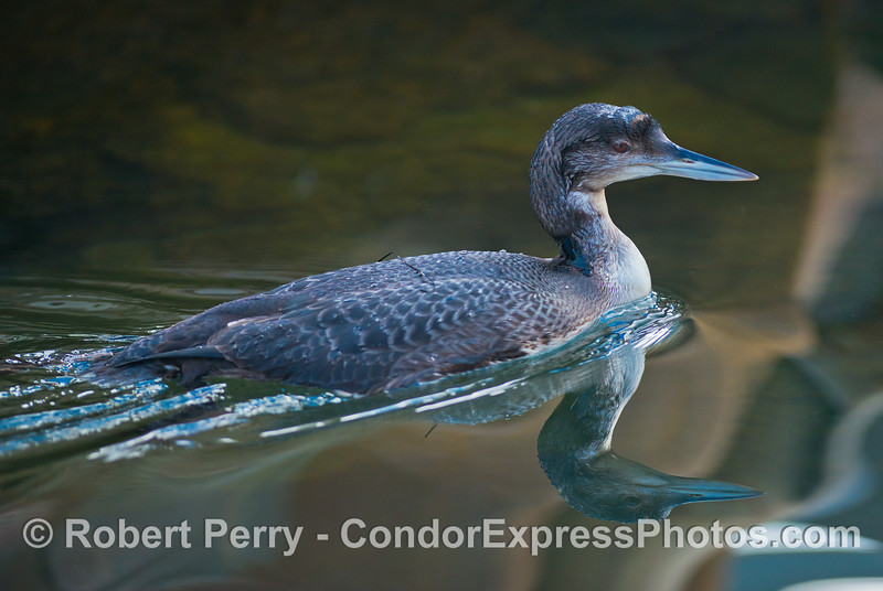 A common loon swims around near the Condor Express inside Santa Barbara Harbor.