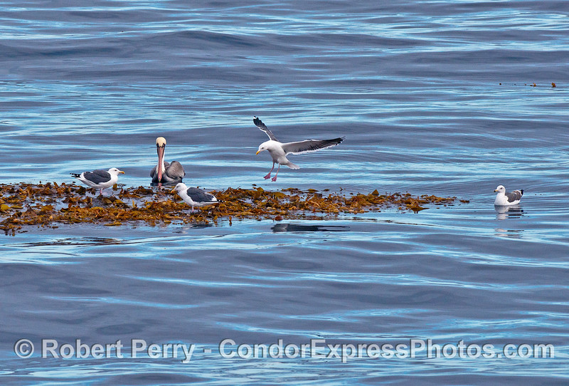 Sea birds find a floating refuge on some drifting giant kelp