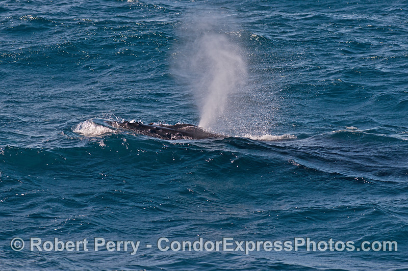 A humpback whale spouts as the swells roll by.