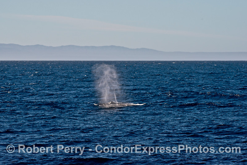 A tall spout from a large humpback whale with Santa Cruz Island in the background