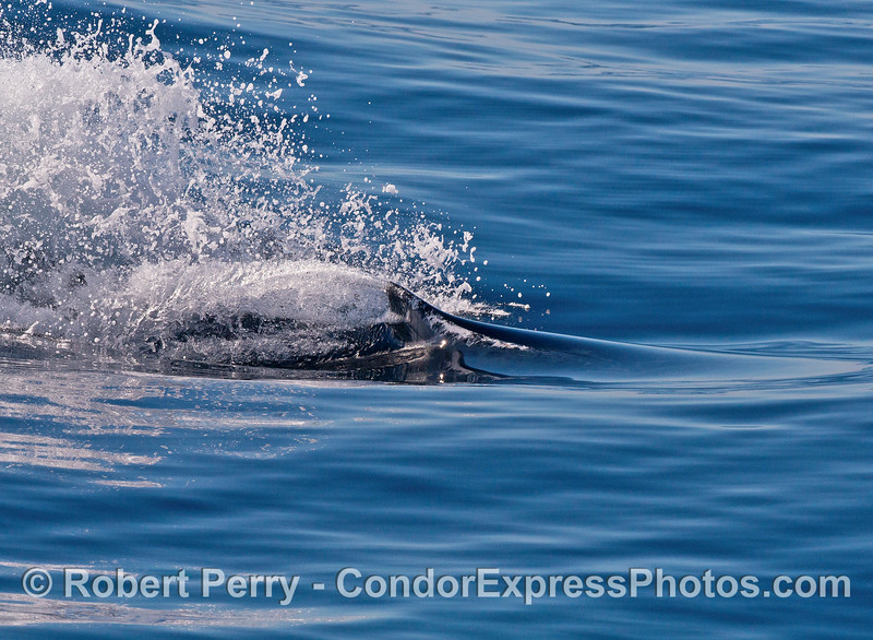 Image 3 of 4:   humpback whale chasing/racing sequence.