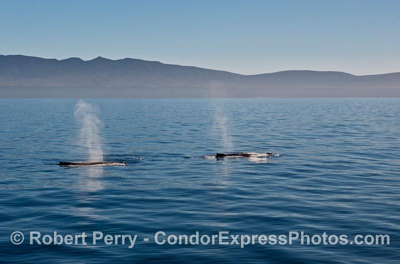 Humpback whales - Santa Cruz Island.