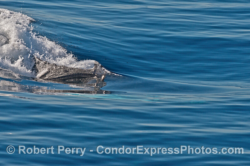 Image 4 of 4:   humpback whale chasing/racing sequence.