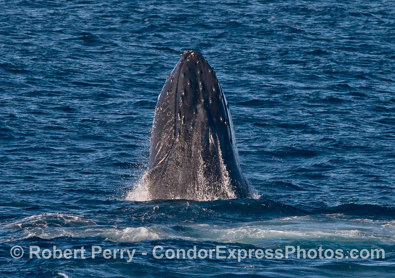 Image 1 of 2:   Breaching/chin slapping humpback whale.