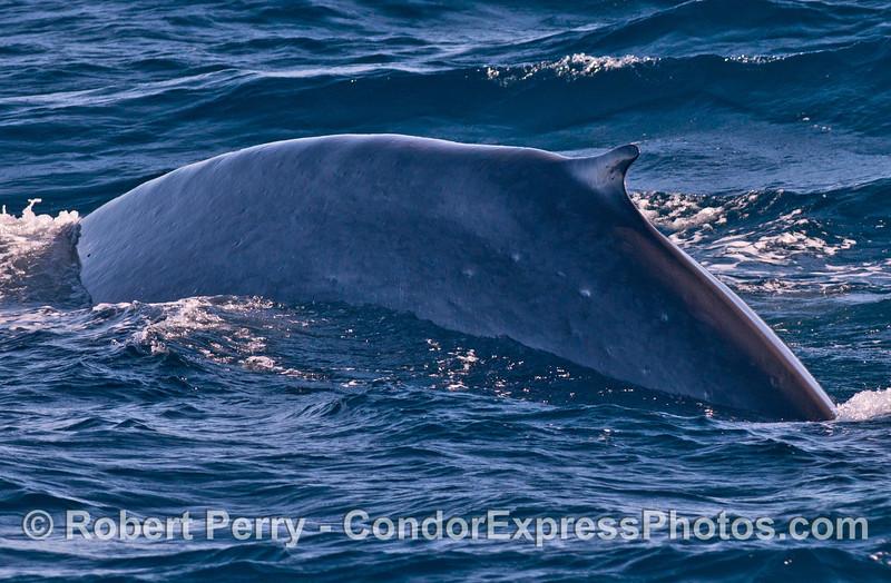 Blue whale dorsal fin