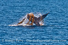 Image 1 of 2:   A humpback whale engaged in kelping - thrashing a drifting paddy of giant kelp.