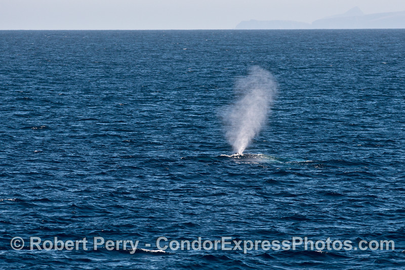 Tall spout from a big whale - blue whale