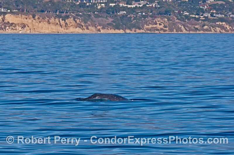 Side view of a gray whale with Hope Ranch in back.