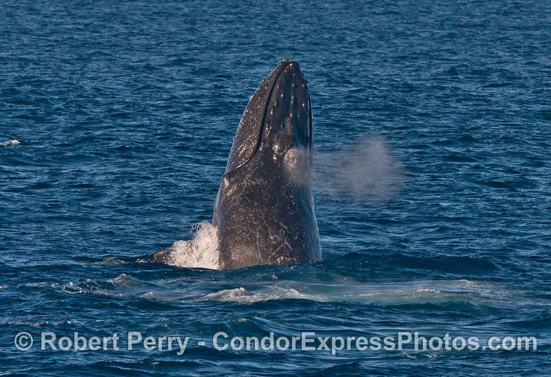 Image 2 of 2:   Breaching/chin slapping humpback whale.