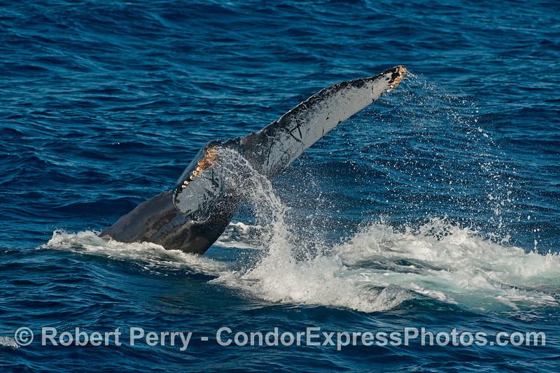 Tail flukes - humpback whale.
