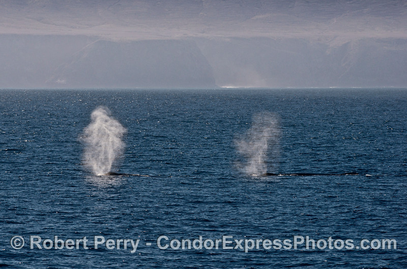 Two humpback whale spouts with Santa Cruz Island in the background.