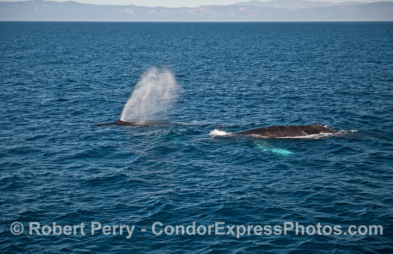A pair of humpbacks and one with white pectoral fins.   Mainland coast, Santa Ynez Mountains, in back.