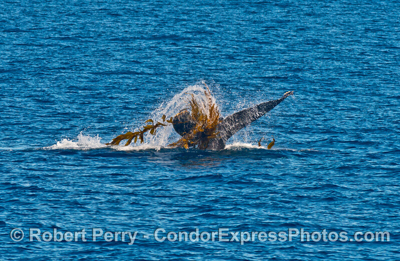 Image 2 of 2:   A humpback whale engaged in kelping - thrashing a drifting paddy of giant kelp.