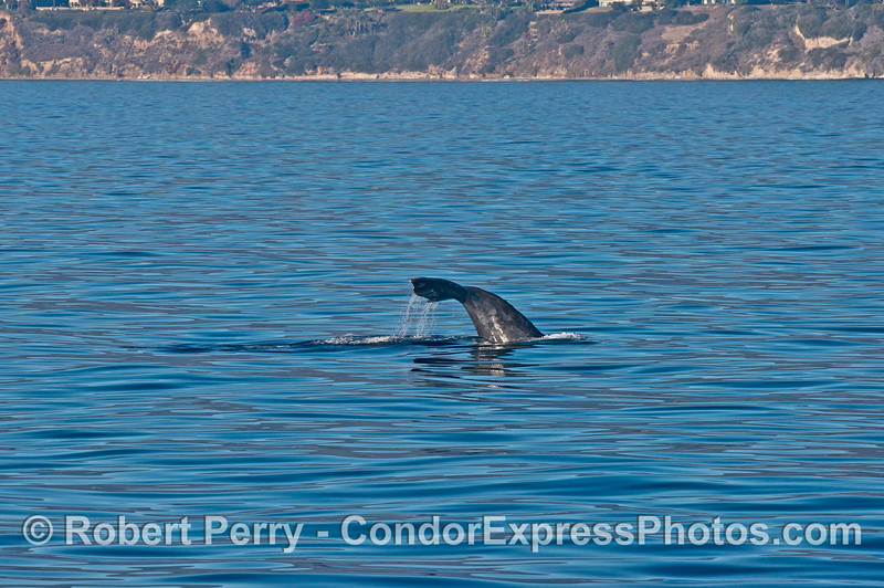 Gray whale tail flukes...first gray whales of the new season!