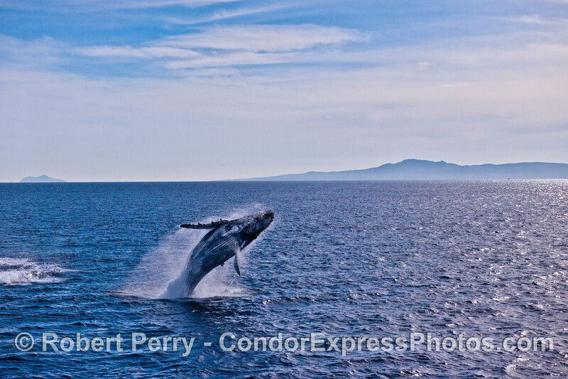 Humpback whale breach with Channel Islands in back.